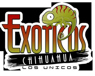Exoticos Chihuahua